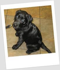 Gunner W. | Labrador Retriever