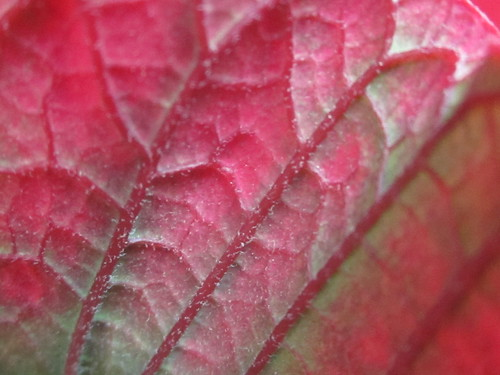Red Leaf Veins