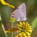 Common Hairstreak - Photo (c) Kristi, some rights reserved (CC BY-NC-SA)