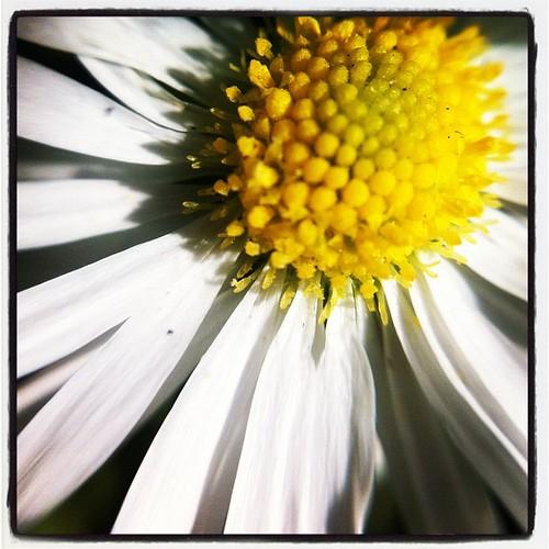 Daisy weed