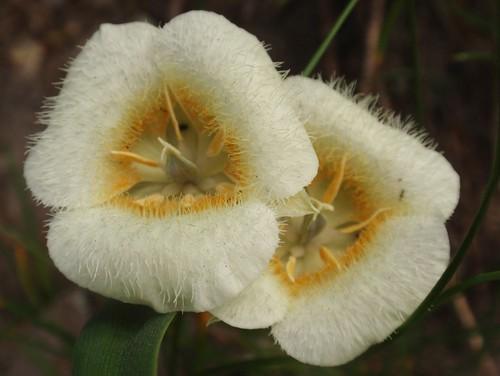 Subalpine Mariposa Lily 03