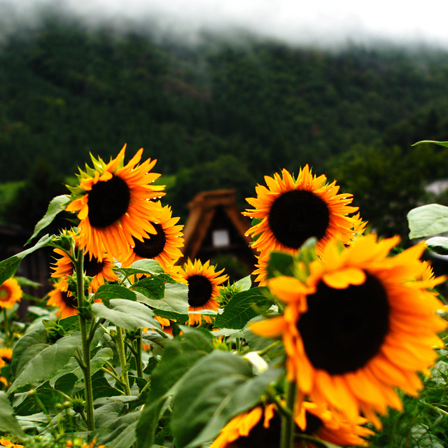 Sunflowers in Japan