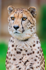 Pretty posing cheetah portrait