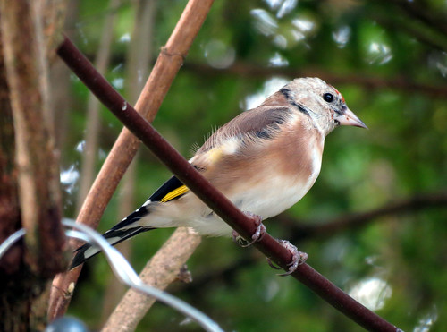 Young Goldfinch 35