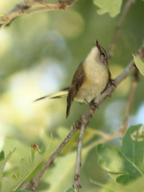 American Redstart 20120906