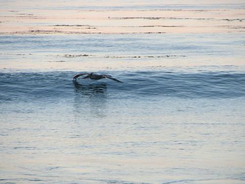 pelican surfs