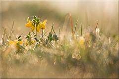 Morgenblüte