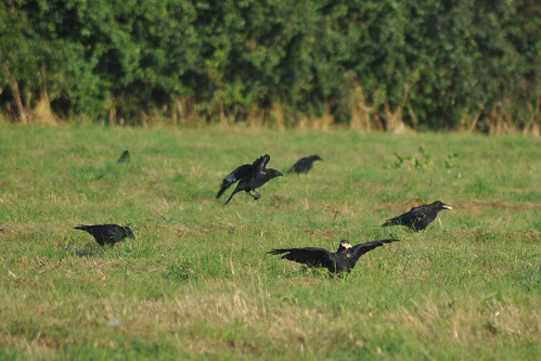 Crows in Bitterns Field, Brent River Park