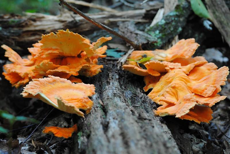 Chicken mushroom,Трутовик серно-жёлтый, Laetiporus sulphureus