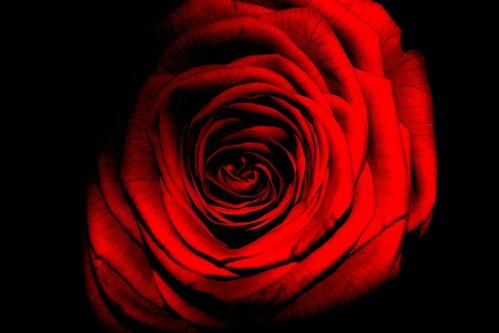 [フリー画像素材] 花・植物, 薔薇・バラ ID:201209270600