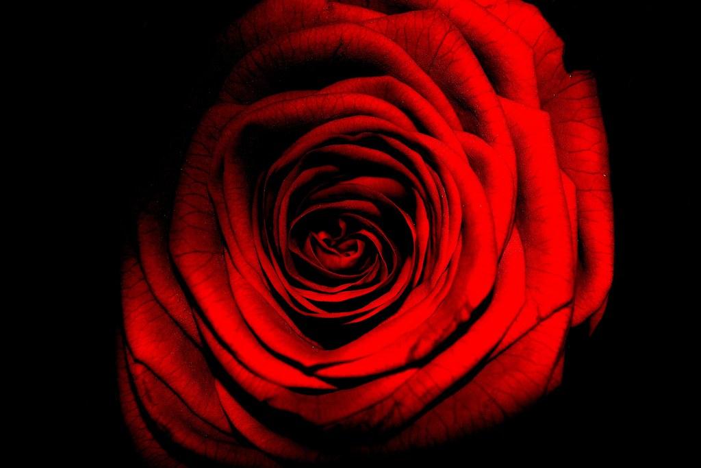 薔薇の画像 p1_30