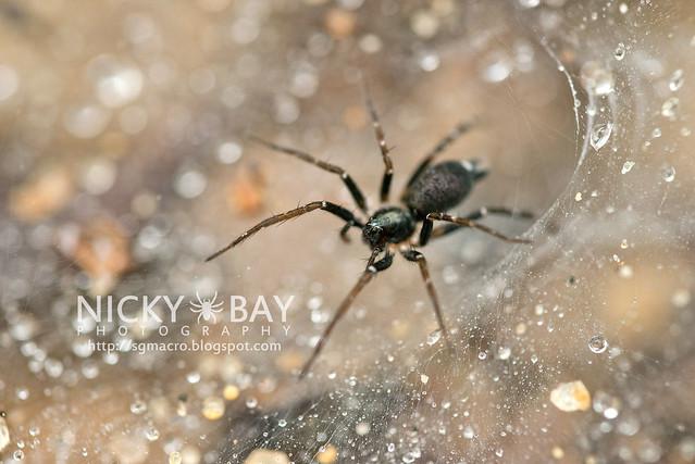 Wolf Spider (Lycosidae) - DSC_4780