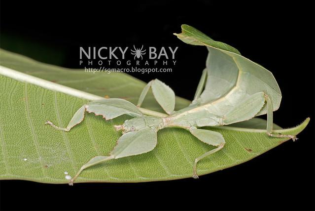 Gray's Leaf Insect (Phyllium bioculatum) - DSC_4961