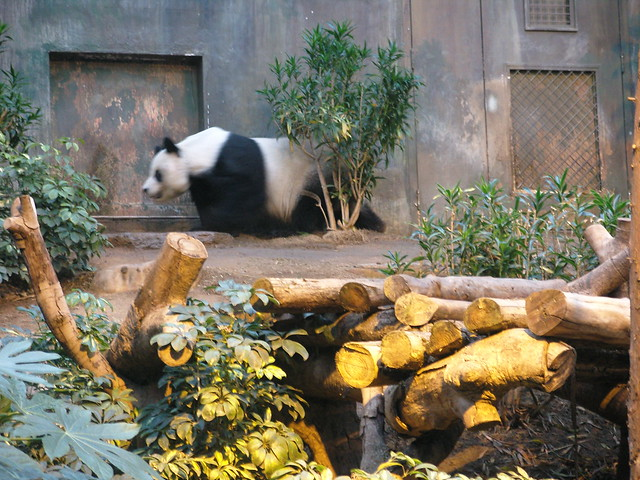 Giant Pandas Habitat  Bamboo Forest in Western China