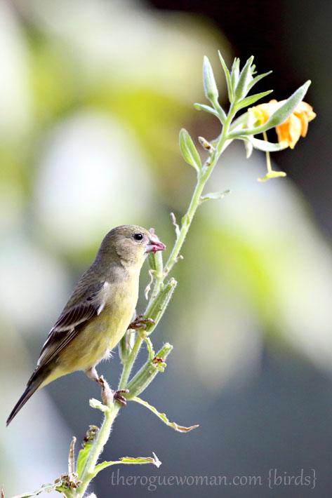 090212_04_bird_pass_goldfinch