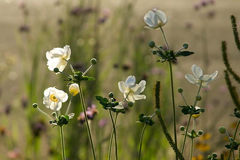 anemone  2216