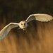 Barn Owl by David Newby | IMAGES 2014