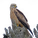 Red Kite (Byron Palacios)