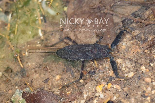 Water Scorpion (Nepidae) - DSC_4123