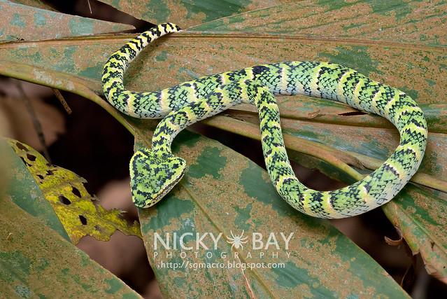 Wagler's Pit Viper (Tropidolaemus wagleri) - DSC_3837