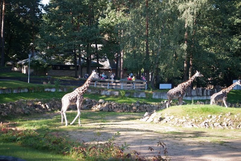 Свободные латвийские жирафы :):) DSC_0206