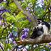 Guereza Colobus Monkey