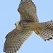 Kestrel (Falco tinnunculus) by m. geven
