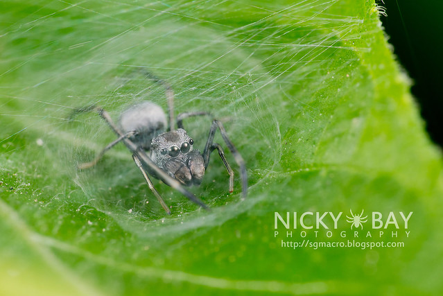 Ant-Mimic Jumping Spider (Salticidae) - DSC_0714