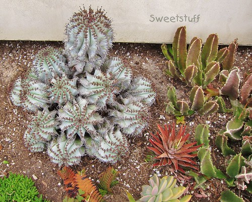 Euphorbia polygona 'Snowflake' and friends