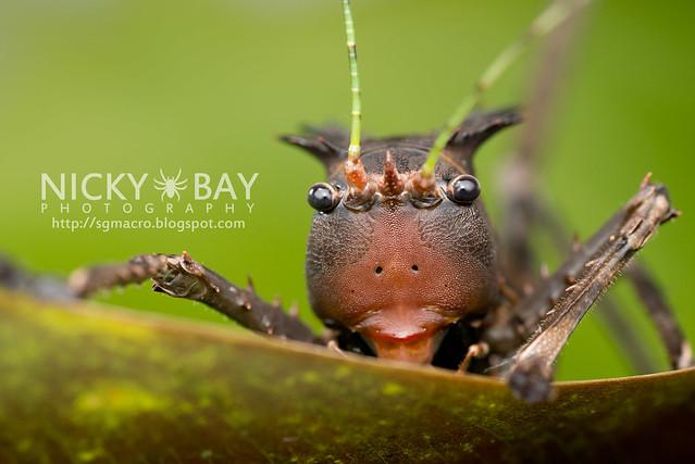 Dragon-Headed Katydid (Lesina sp. or Ellatodon sp.?) - DSC_6358