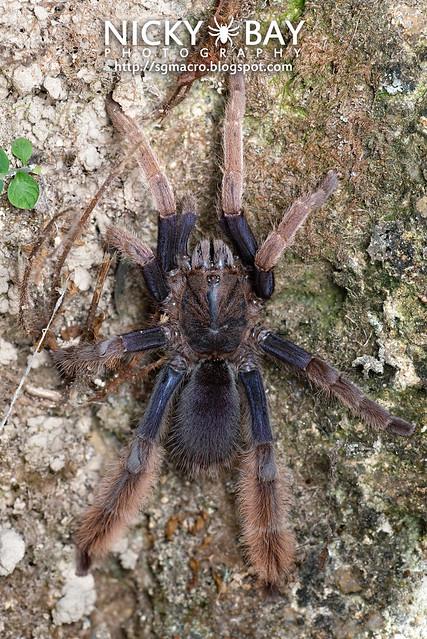 Malaysian Purple Femur Tarantula (Coremiocnemis sp.) - DSC_5994