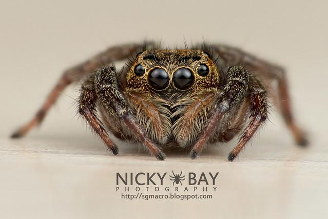 Jumping Spider (Salticidae) - DSC_5585