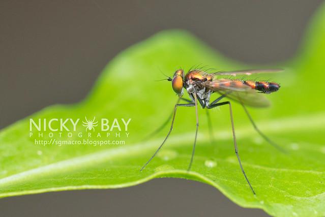 Long-Legged Fly (Dolichopodidae) - DSC_5445