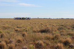 Plant ID for grassy ecosystems Deniliquin