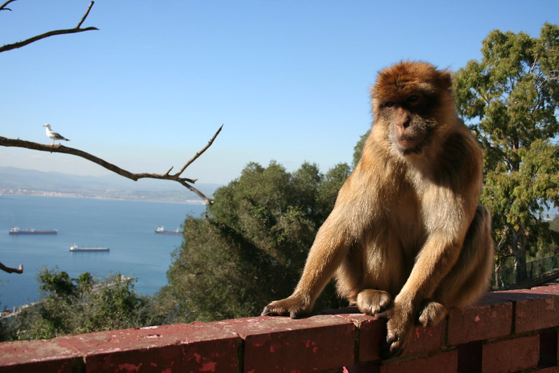 Macacos-Selvagens-Monkeys-Gibraltar