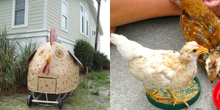 Chicken Collage