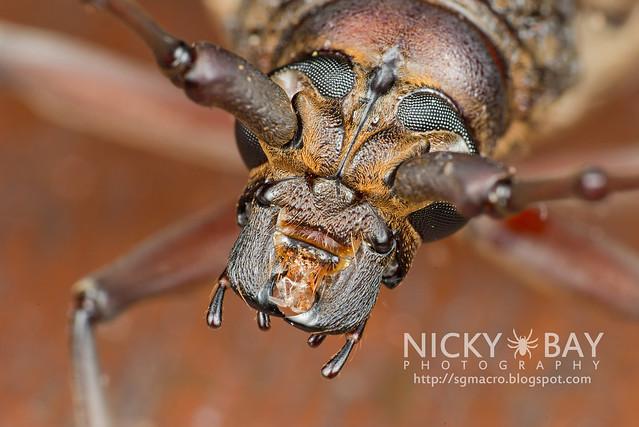Longhorn Beetle (Cerambycidae) - DSC_9058