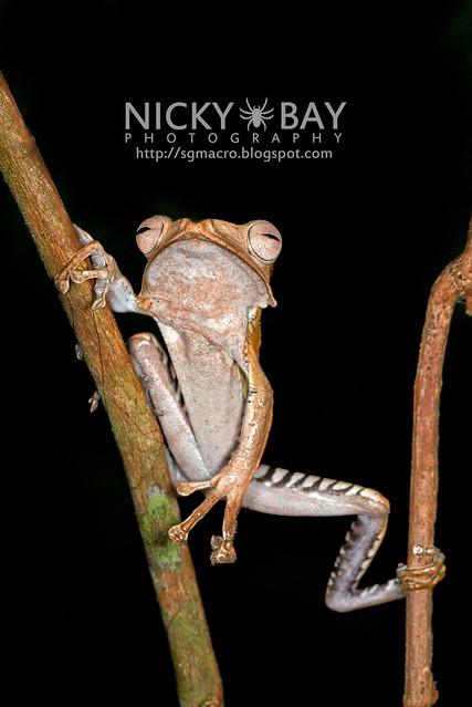 File-eared Tree Frog (Polypedates otilophus) - DSC_8949