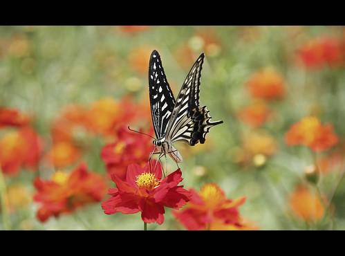 Ki-ageha butterfly in Hamarikyu koen (Tokyo, Japan)