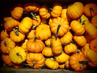 Pumpkin Squash1568