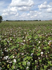 Cotton field on Highway 46