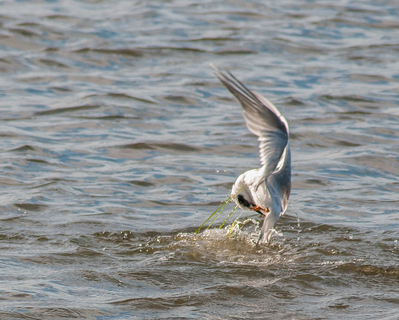 Tern with weeds