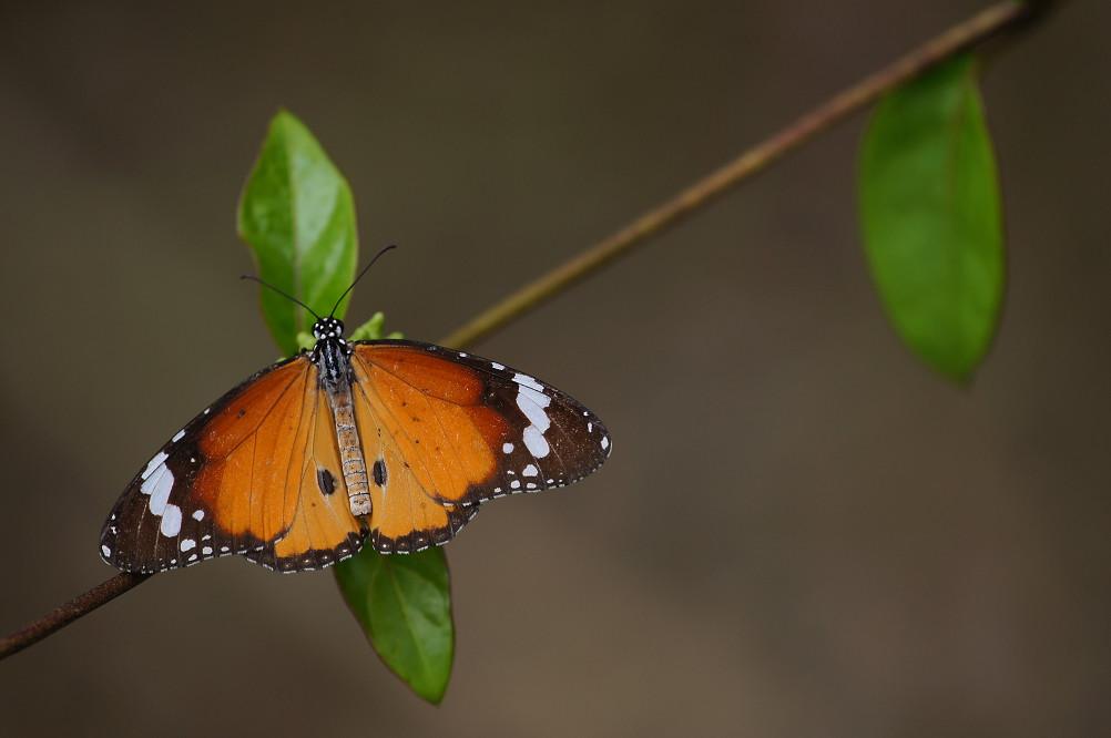樺斑蝶-1