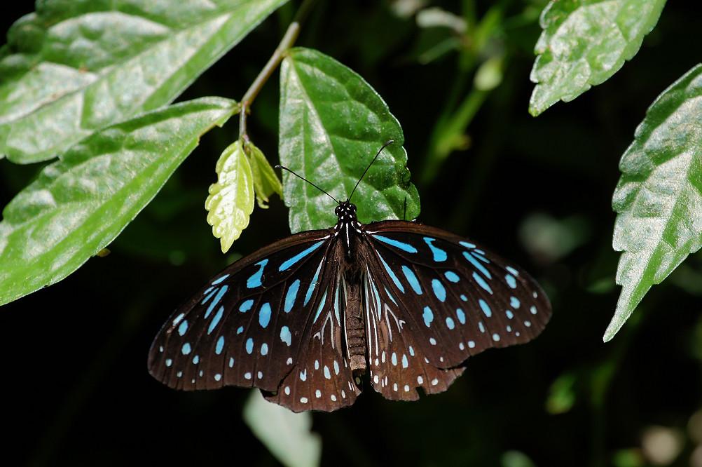 淡紋青斑蝶-1