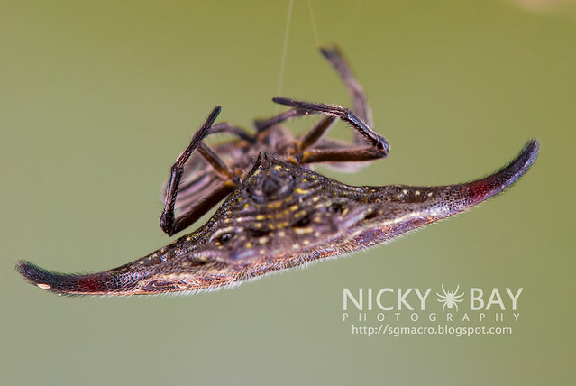 Spiny Back Orb Weaver (Gasteracantha doriae) - DSC_4976