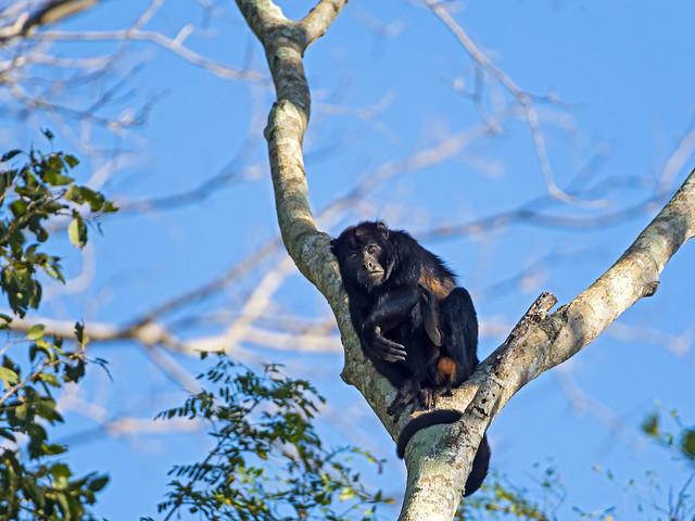 Mono aullador descansando en la rama de un árbol de Mato Grosso, Brasil