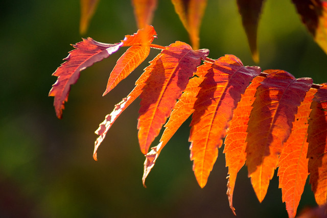 Wild Sumac, Staghorn Sumac, Autum Colors, Fall Colors, Orange, Red, Green