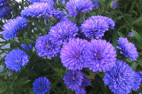 Purple Mums by randubnick
