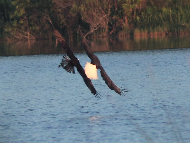 Bald Eagle 0739-19 AM 20121010