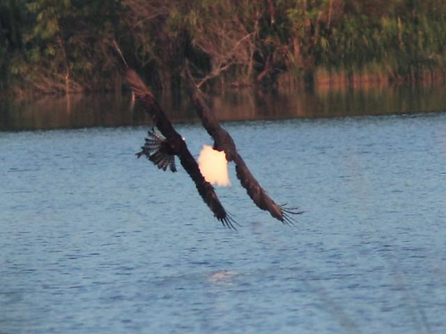 Bald Eagle 0739-19 AM 20121010